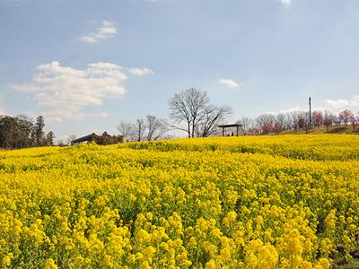 まんのう公園 菜の花400x3004-2.jpg