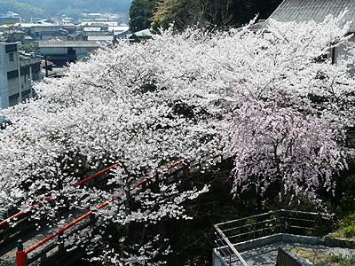 2012sakura_2.jpg
